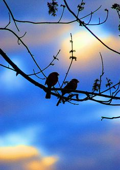 Cardinals Silhouetted by abennett23, via Flickr
