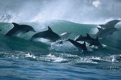 Taiji Dolphin myths debunked. Stop the slaughter!