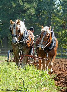 "plowing horses - A way of life for farm people in Oklahoma in the 30s and 40s. I actually saw my grandfather plow up the garden this way.  The horses wore ""blinders"" on their eyes."