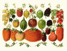 Berries Fruit Art Illustration, Giclee art Print, $19.95.