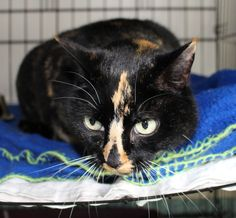 This beautiful torti cat will soon be up for adoption