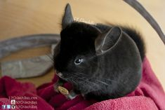 How To Bond With Your Chinchilla Crazy Cat Lady, Crazy Cats, Chinchilla Cute, Pet Insurance Cost, Pets 3, Animal Shelter, Pet Shelter, Pet Care Tips, Pet Life
