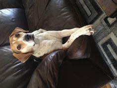 Such a princess, beagle harrier