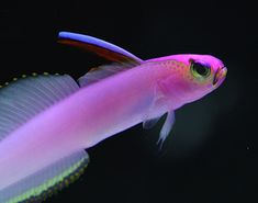 The Fish Version Of Grumpy Cat Purple Face Helfrich S Firefish Resurface From The Cook Islands Saltwater Fish Tanks Ocean Creatures Marine Fish