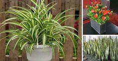 Toto je 18 izbových rastlín, ktoré podľa NASA najlepšie čistia vzduch v domácnostiach. Izbové rastliny čistiace vzduch od toxínov, lepší vzduch, spánok