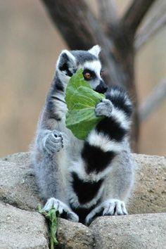 Nyum Lemurs, Beast, Llamas, Wild Things, Coloring, Monkeys, Animales, Lemur