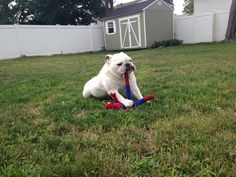 ❤ The destruction of spider man!  ❤  Posted on I love English Bulldogs