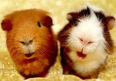 guinea pig selfies