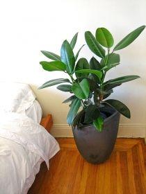 Gummibaum / Ficus Elastica