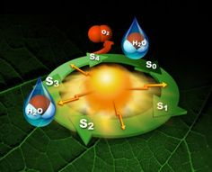 Postcards from the photosynthetic edge: Femtosecond snapshots of photosynthetic water oxidation