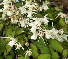 A distinctive Epimedium that spreads its long, creamy white spurs, or Fairy Wings (the common name), above little green leaflets trimmed with wide, dark-purple borders. This unusual combination has proved instantly popular, no doubt because the foliage of 'Bandit' remains arresting after spring blooms depart and a second, larger, group of leaflets emerges.  Interest in this genus has increased in the last decade as horticulturists brought back new species and varieties from explorations in…