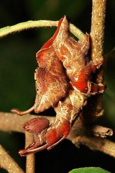 Lobster Moth Caterpillar (Stauropus sp., Notodontidae) | by John Horstman (itchydogimages, SINOBUG)