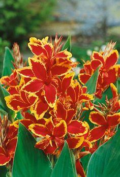 Ideas Garden Tropical Ideas Canna Lily - Home Decor Tropical Landscaping, Landscaping Plants, Tropical Garden, Tropical Flowers, Tropical Plants, Garden Plants, Canna Lily Garden, Cana Lillies, Canna Flower