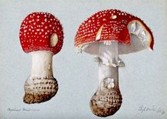 The Classic Fly Agaric (Amanita muscaria) - Watercolour, 1892