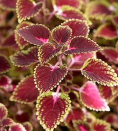 Trailing sun-loving coleus is an easy-to-grow annual foliage plant that adapts well to hanging baskets and container gardens where it sprawling stems can drape over the edge of the planter. You also can plant it at the front of garden beds where it will intertwine with flowering annuals and perennials to bring color to the landscape. Most trailing coleus have smaller leaves than upright growers, reaching only about an inch long.
