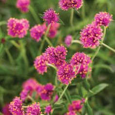 Proven Winners - Truffula™ Pink - Globe Amaranth - Gomphrena pulchella pink hot pink plant details, information and resources. Globe Amaranth, Proven Winners Flowers, Plants, Pink Flowers, Perennials, Landscaping With Rocks, Pink Plant, Flowers, Hot Pink Flowers
