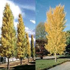 Ginko biloba Princeton Sentry(TM) - the Ginko is a tree that has stood the test of time as it is not much changed from the Jurassic Period. This is a very upright pinnacle form.