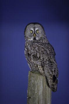 Great Grey Owl by Daniel Parent