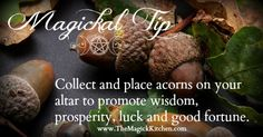 Magickal Tip Acorns - Collect and place acorns on your altar to promote wisdom, prosperity, luck and good fortune.