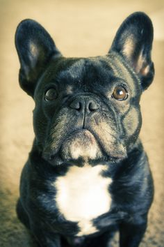 Frenchie by Lainey