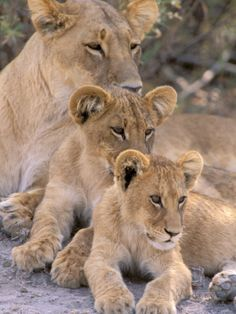 Lioness and Cubs, Okavango Delta, Botswana Photographic Print by Pete Oxford at AllPosters.com