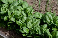 For early spring greens such as spinach and lettuce, grow them close together and harvest the leaves when they're still small, which can be as short as three weeks from planting, depending on the variety and the weather. #GardenTip