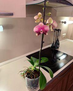 Никак не насмотрюсь на Фантома😻👻❤️ ⠀ Все фото тут ➡️ #phantom_my_orchid_diary ⬅️ ⠀  #орхидеи #орхидея  #фаленопсис #орхидеяфаленопсис… Flowers, Plants, Plant, Royal Icing Flowers, Flower, Florals, Floral, Planets, Blossoms