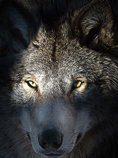 Photograph wolf 1 by Robert Marleau on 500px