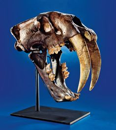 SABRE-TOOTHED TIGER SKULL - THE GREAT AMERICAN FOSSIL Smilodon fatalis Pleistocene Rancho La Brea Formation, Los Angeles, California