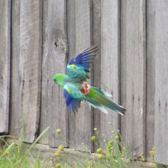 Parrot Of The Day ‏@ParrotOfTheDay - More  Young red-rumped parrot (Psephotus haematonotus) in flight in the southern suburbs of Melbourne #wildoz #ownpic
