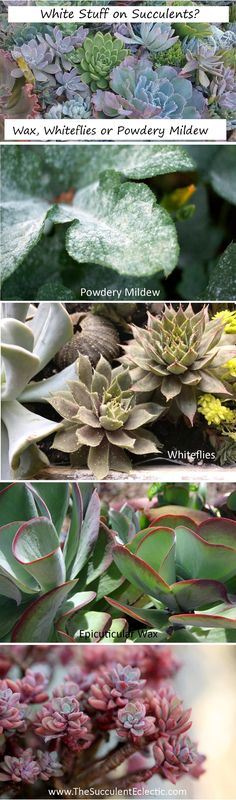 Learn to recognize the difference between beneficial epicuticular wax on your succulent leaves, and the damaging presence of whiteflies or powdery mildew. Pin now and read later - your succulents will thank you! :)