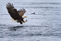 Photo of a fishing bald eagle just before catching a fish off the Vancouver Island coast.
