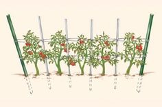 Florida Weave - finally found the name of the method I want to grow my tomatoes