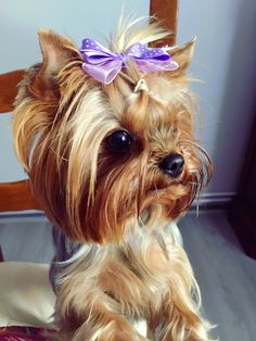 OH MY GOOOOD!!! #yorkshireterrier