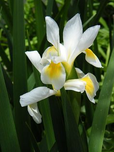 White Siberian Iris in Foliage by Mary Sedivy. Lush green foliage highlights the glorious white blossoms of stunning Siberian Iris plants. Tall stems, topped by stunning white flowers, rise out of long spear-like leaves. White Flower Photos, Beautiful Flowers Photos, Beautiful Flowers Garden, White Flowers, Iris Flowers, Butterfly Flowers, Butterflies, Colorful Garden, Colorful Flowers