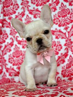Tiny AKC French Bulldog PrincessShe is Perfection! 32 Champions in her pedigree!SOLD