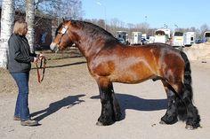 North Swedish Horse - stallion Zultan