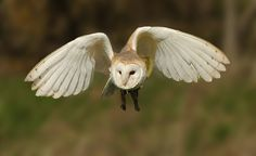Barn Owl - null