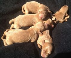 Yep, we're getting a double doodle (north american retriever) puppy