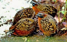 Rufous-breasted Wood Quail Odontophorus speciosus - Google Search