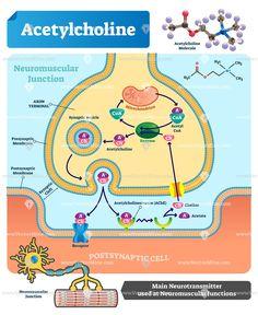 Acetylcholine biological vector illustration infographic diagram