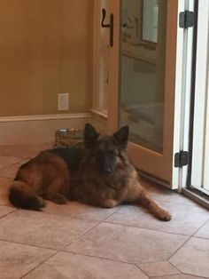 Check out Duke(Cl)'s profile on AllPaws.com and help him get adopted! Duke(Cl) is an adorable Dog that needs a new home. https://www.allpaws.com/adopt-a-dog/german-shepherd-dog/3635684?social_ref=pinterest