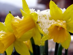 Tres amarillas nevadas