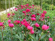 cab088cc4763e0f9ceec74db2c0dbe49--paeonia-lactiflora-peonies-garden.jpg (736×552)
