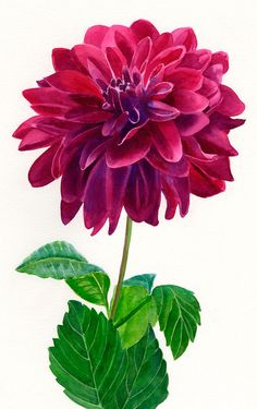 Red Violet Dahlia Blossom Watercolor Painting on White Background 11 x 16 on Etsy, $120.00
