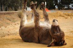 Donkeys that play dead