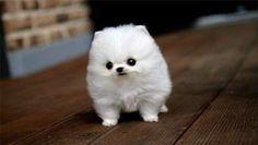 Omg Cottonball! #cute #adorable #babyanimal #baby #puppy #tiny #cutepuppy #tinypuppy #cutest