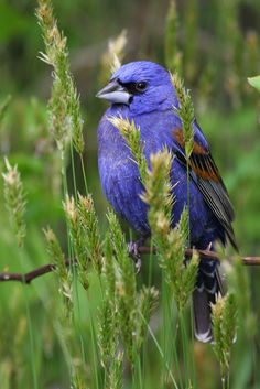 Blue Grosbeak, nesting grounds across most of the southern half of the U.S. & much of northern Mexico, migrating south to Central America.