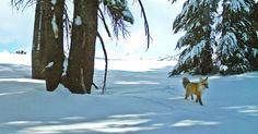 Uma raposa vermelha de Serra Nevada foi vista no Parque Nacional Yosemite, na Califórnia, EUA, pela primeira vez em quase um século. A informação foi confirmada na quarta-feira (28) pelas autoridades americanas. A imagem acima foi feita em 13 de dezembro de 2014, mas há outro registro realizado em 4 de janeiro deste ano. Segundo Ben Sacks, diretor da unidade de Conservação de Mamíferos e Ecologia da Escola de Veterinária da Universidade da Califórnia, a última vez que a raposa vermelha foi…