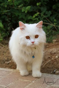 Little Princess - While most kittens are silly and playful, this fluffy white kitten has regal down pat. Like a tiny princess, she styles a twinkling blue collared necklace while surveying her kingdom.